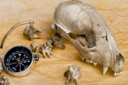 discovery: Compass with skull raccoon. Discovery  background