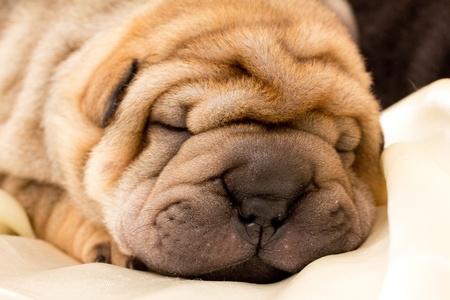 Shar pei puppy photo