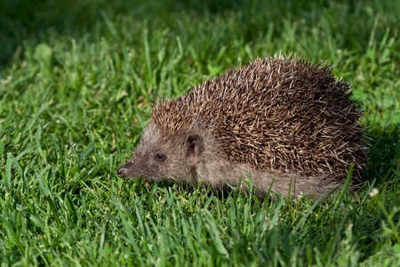 Hedgehog in fresh green grass Stock Photo - 12838276