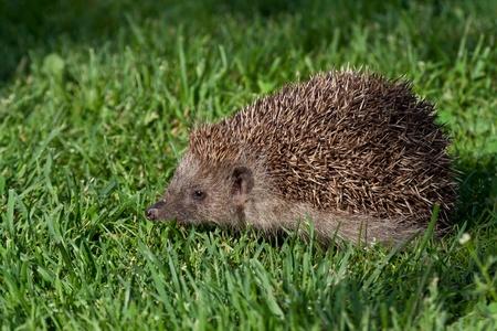 nocturnal: Hedgehog in fresh green grass