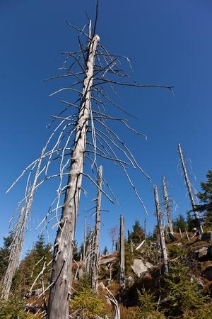 kwaśne deszcze: Debrist drzewa z powodu kwaśnych deszczów