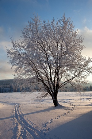 Tree coverd by icy rime Stock Photo - 13276111