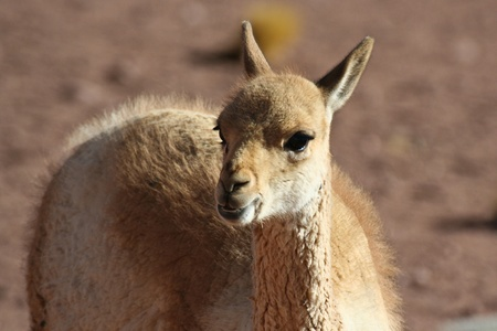 Camelid of arid areas - vicuna photo