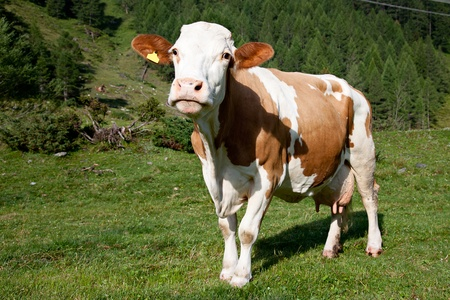 Pasture in the mountain with  brown cow photo