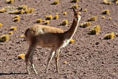 Vicuna  Vicugna vicugna   andean animal Stock Photo