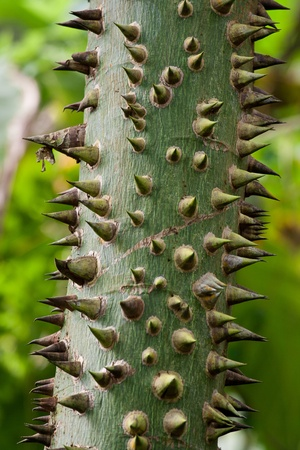 trees with thorns: Tropical tree trunk with sharp thorns Stock Photo