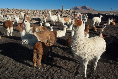 Herd of many andean lamas Stock Photo - 13663764