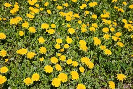 seasonic: Yellow dandelion in green grass lawn