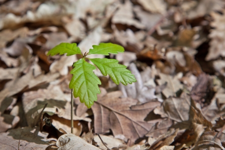 Growing young oak tree from dry leves photo