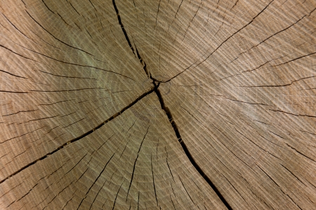 Oak wood texture with annual rings photo