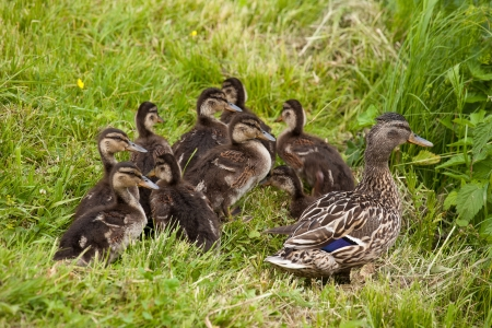 Group of Ducklings with their mother photo