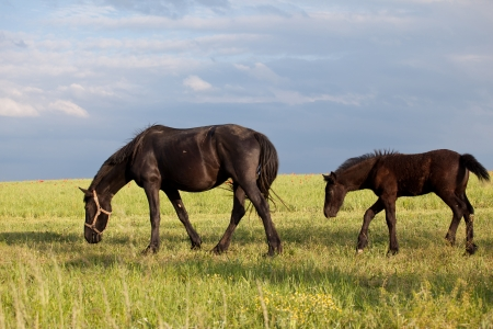pasturage: Feeding mare and young foal