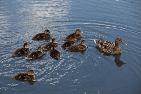 guiding: Group of ducklings on water Stock Photo