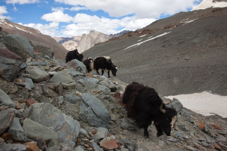 Herds of yaks at Himalayan valley photo
