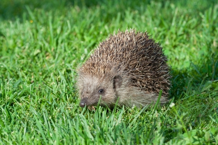 nocturnal: Young hedgehog at fresh grass