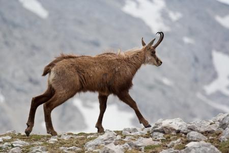 renewable resources: Chamois running at  alpen ridge Stock Photo