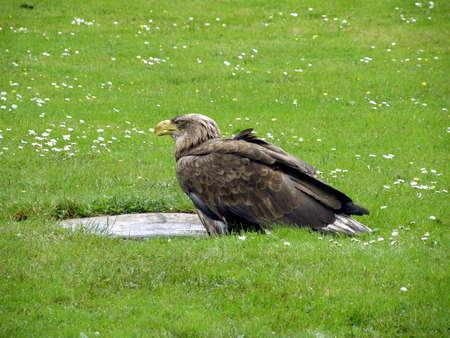 golden eagle: Golden eagle
