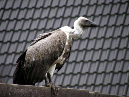 White-backed Vulture photo