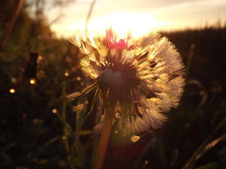 fluff: pelusa de diente de le�n en la hierba