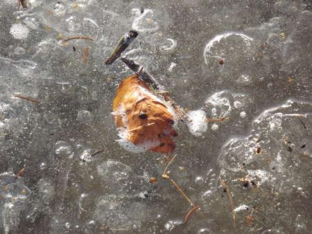 ice crust: Autumn leaf in the ice crust Stock Photo