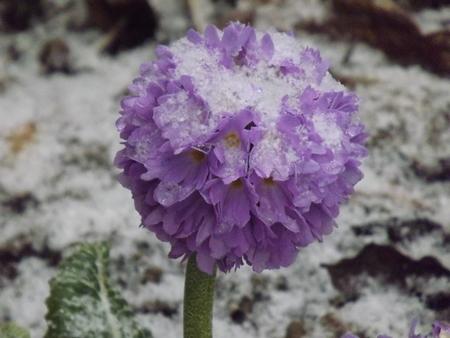 violette fleur: fleur pourpre dans la temp�te de gr�le du printemps Banque d'images
