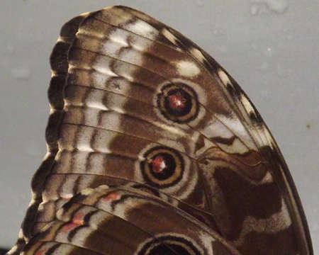 eyespot: butterfly wing Stock Photo