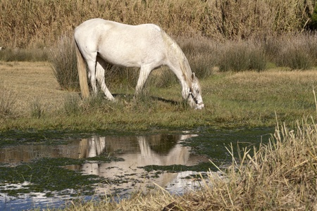 a horse drinking from a puddle of water photo