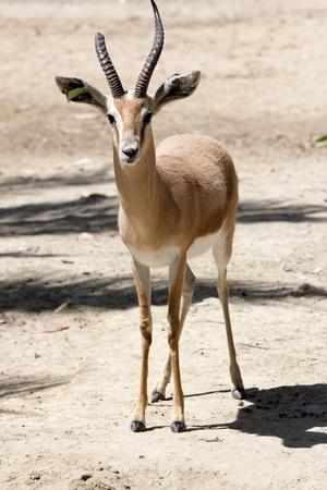 a gazelle in a plain looking
