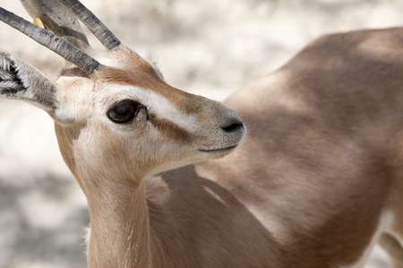 a gazelle in a plain looking Stock Photo - 9608935