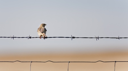 a little sparrow perched on a fence photo