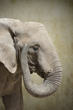a big elephant lifted his trunk Stock Photo - 11980026