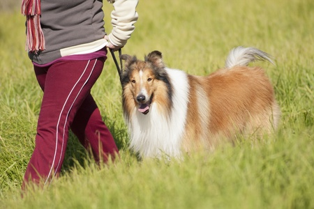collie dog walking on a green meadow, with its owner