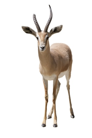 a young woman with huge horns gazella Standard-Bild