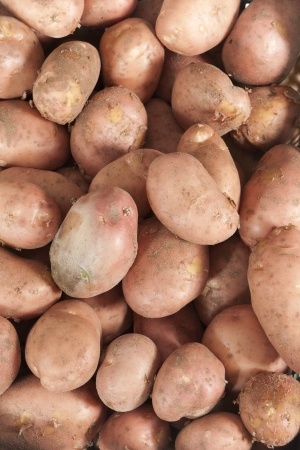 kilograms: several kilograms of recently collected potato harvest Stock Photo
