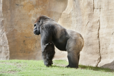 simian: a huge gorilla male silverback commonly called Stock Photo