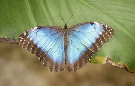 a butterfly of the species Morpho Peleides