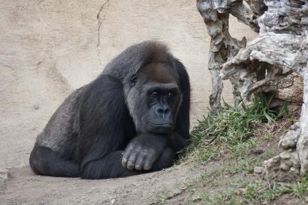 a female gorilla lying resting