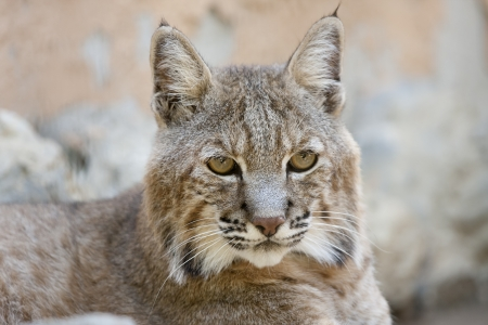an Iberian lynx, an animal in danger of extinction