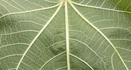 fig leaf: a fig leaf, a rough sheet and pentagon shaped