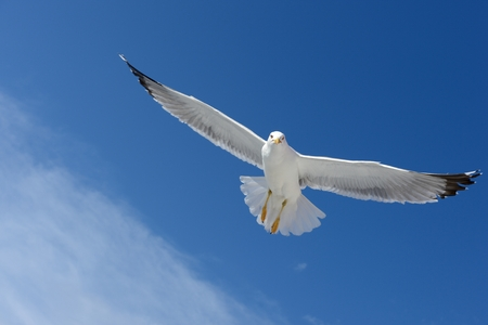 glide: A seagull flying in the sky Stock Photo