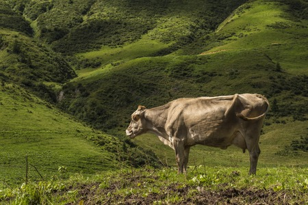 cow grazing on the mountain, in the foreground