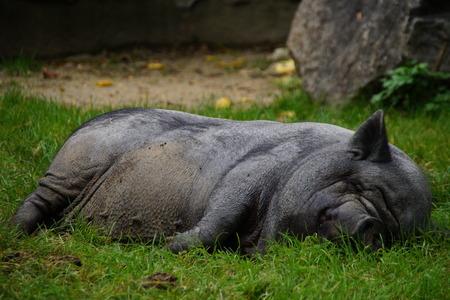 omnivore animal: Black pig lying and sleeping peacefully - swine or hog Stock Photo