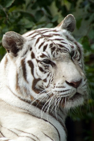 siberian tiger: Benagal White Tiger Head - Siberian Tiger Albino Stock Photo
