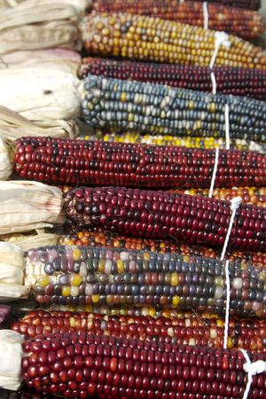 Indian corn bundled for sale at the farmers market