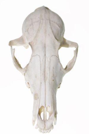 Fox skull against white background Banco de Imagens
