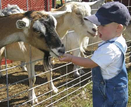 Young boy feeding goats at a petting zoo Stock Photo