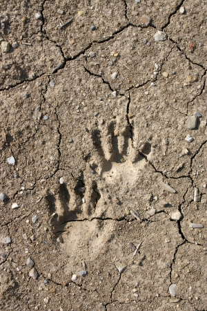 Raccon tracks in mud