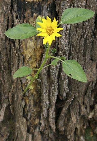 Sunflower groeien uit boomstronk Stockfoto