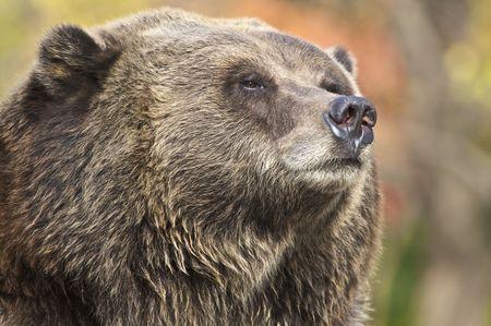しっかりとグリズリー クマの顔の画像をトリミング