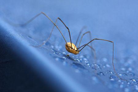 daddy long legs: Daddy long legs spider